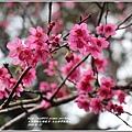 玉山神學院櫻花-2018-01-12.jpg