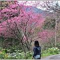 玉山神學院櫻花-2018-01-23.jpg