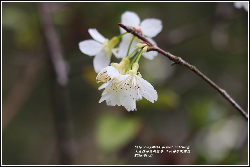 玉山神學院櫻花-2018-01-36.jpg