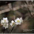 社區白梅-2018-01-11.jpg