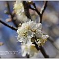 社區白梅-2018-01-13.jpg