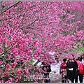 樹湖櫻花-2018-02-02.jpg