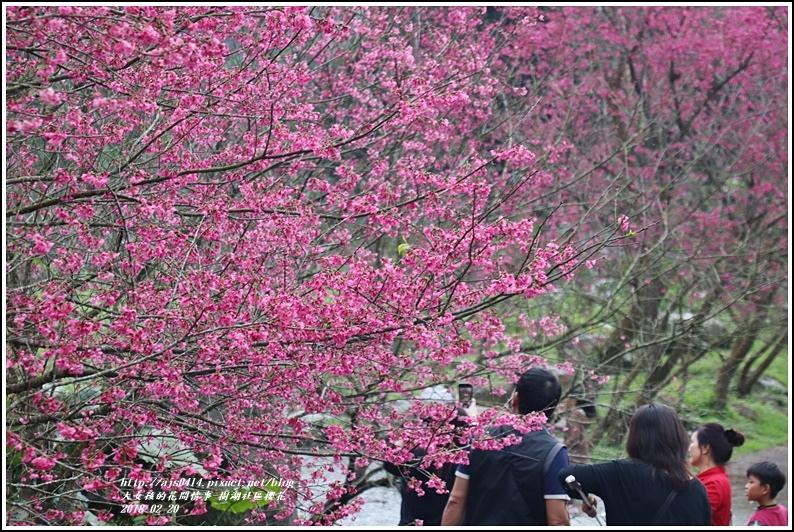 樹湖櫻花-2018-02-04.jpg