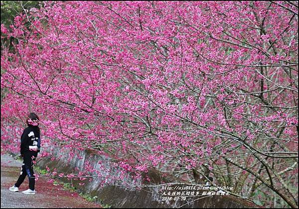樹湖櫻花-2018-02-07.jpg