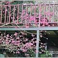 樹湖櫻花-2018-02-11.jpg