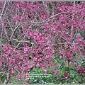 樹湖櫻花-2018-02-18.jpg