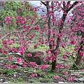 樹湖櫻花-2018-02-27.jpg