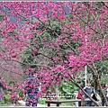樹湖櫻花-2018-02-31.jpg