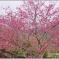 樹湖櫻花-2018-02-36.jpg