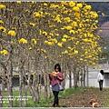 黃花風鈴木(富源國中旁水圳)-2018-03-13.jpg