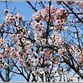 陽明山櫻花季-2018-03-06.jpg