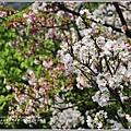 陽明山櫻花季-2018-03-23.jpg