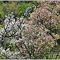 陽明山櫻花季-2018-03-26.jpg