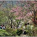 陽明山櫻花季-2018-03-29.jpg