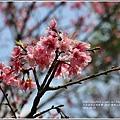 陽明山櫻花季-2018-03-30.jpg