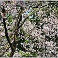 陽明山櫻花季-2018-03-67.jpg