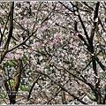 陽明山櫻花季-2018-03-72.jpg