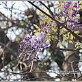陽明山櫻花季(紫藤)-2018-03-02.jpg