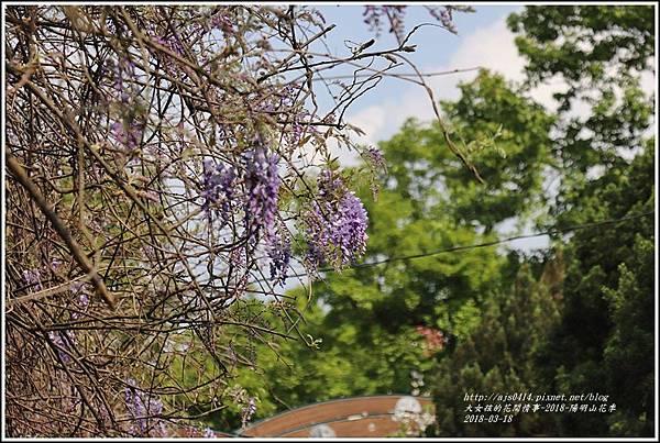 陽明山櫻花季(紫藤)-2018-03-04.jpg