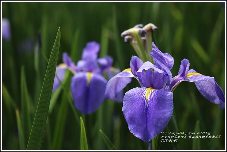 雲山水植物農場鳶尾花-2018-04-08.jpg