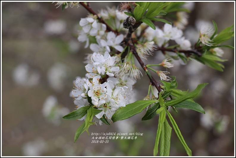 暨大櫻花季-2018-02-08.jpg