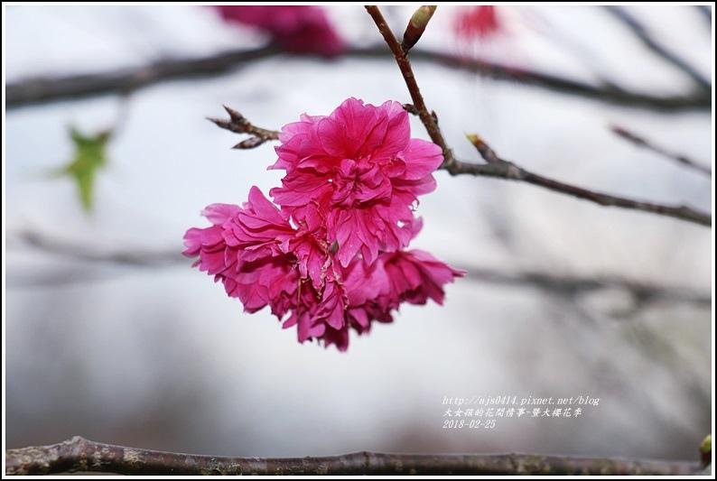 暨大櫻花季-2018-02-19.jpg
