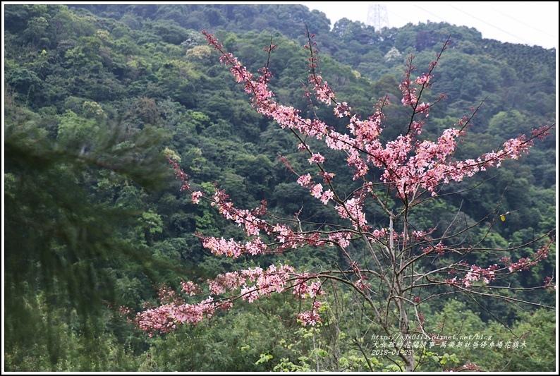 花旗木(萬榮新社區停車場)-2018-04-23.jpg