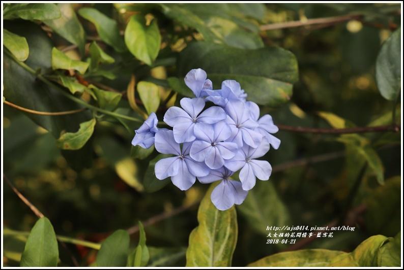 藍雪花-2018-04-01.jpg