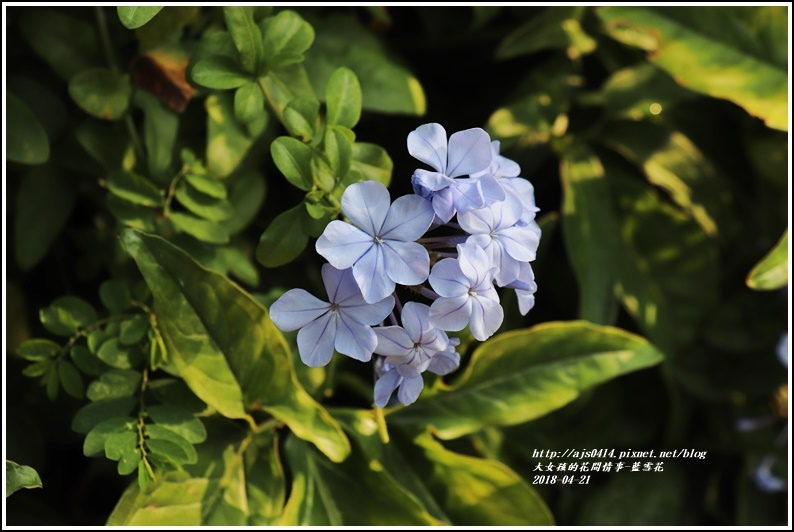 藍雪花-2018-04-04.jpg