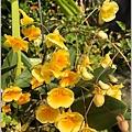 黃金石斛-04-03.jpg