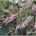 鹿鳴溫泉酒店花旗木-2018-04-26.jpg
