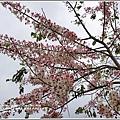 鹿鳴溫泉酒店花旗木-2018-04-27.jpg