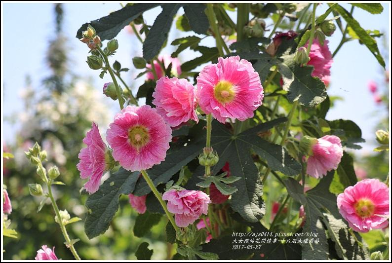 十六股大道蜀葵-2018-05-26.jpg