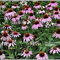 紫錐菊-2018-06-04.jpg
