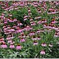 紫錐菊-2018-06-05.jpg