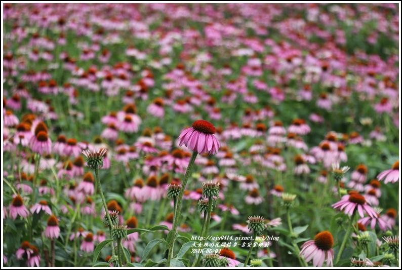 紫錐菊-2018-06-11.jpg