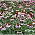 紫錐菊-2018-06-13.jpg