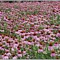 紫錐菊-2018-06-14.jpg