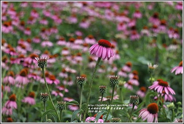 紫錐菊-2018-06-15.jpg