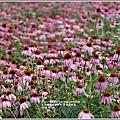 紫錐菊-2018-06-16.jpg