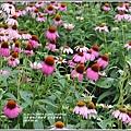紫錐菊-2018-06-18.jpg