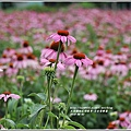 紫錐菊-2018-06-19.jpg