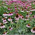 紫錐菊-2018-06-20.jpg