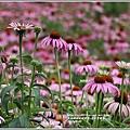 紫錐菊-2018-06-21.jpg