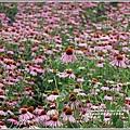 紫錐菊-2018-06-23.jpg