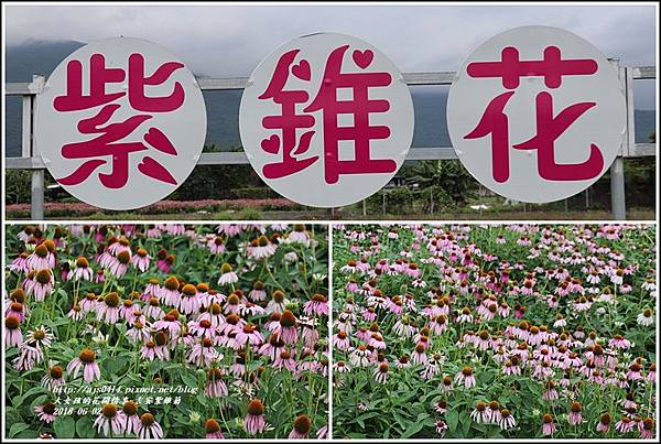 紫錐菊-2018-06-27.jpg