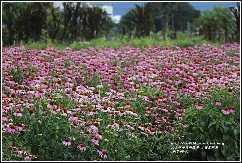 紫錐菊-2018-06-28.jpg