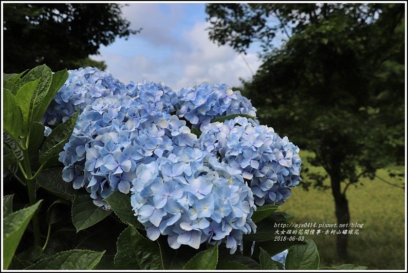 赤柯山繡球花-2018-06-07.jpg