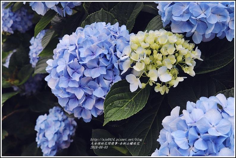 赤柯山繡球花-2018-06-36.jpg