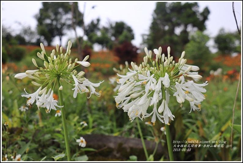 赤柯山繡球花-2018-06-39.jpg